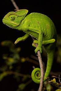 Hintergrundbilder Chamäleons Grün Ast ein Tier
