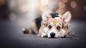 Bilder Hund Welsh Corgi Starren Unscharfer Hintergrund Liegt Tiere