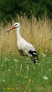 Fotos Vögel Eigentliche Störche Gras