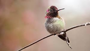 Fotos Vogel Kolibris Ast ein Tier