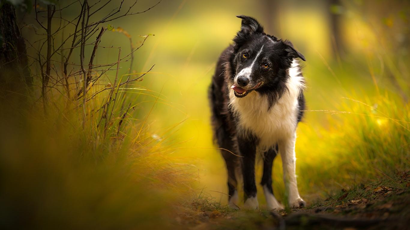 zdjęcia Border collie pies domowy Spojrzenie Zwierzęta 1366x768 Psy domowe wzrok zwierzę