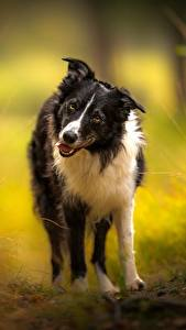Image Dog Border Collie Glance Animals