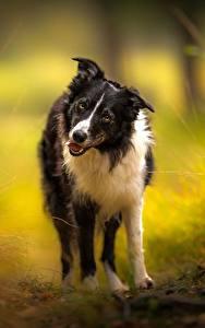 Image Dogs Border Collie Glance Animals