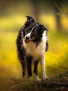 Image Dogs Border Collie Glance Animals