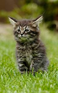 Desktop hintergrundbilder Hauskatze Gras Kätzchen Bokeh Sitzend Tiere