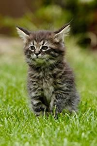 Hintergrundbilder Hauskatze Gras Kätzchen Bokeh Sitzend Tiere