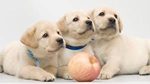 Wallpaper Dog Retriever Puppy Three 3 Glance Labrador Retriever Animals