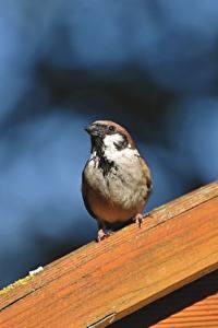 Hintergrundbilder Vogel Sperlinge Bokeh ein Tier