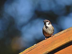 Hintergrundbilder Vogel Sperlinge Bokeh