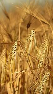 Bakgrundsbilder på skrivbordet Fält Närbild Öron av korn Rye Natur