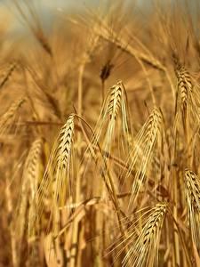 Desktop hintergrundbilder Acker Großansicht Spitze Rye Natur