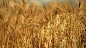 Hintergrundbilder Acker Großansicht Spitze Rye Natur