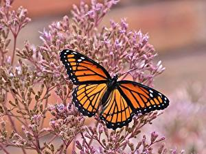 Bilder Schmetterlinge Monarchfalter Großansicht Tiere