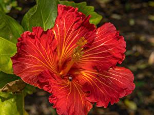 Bilder Hibiskus Großansicht Rot Blumen