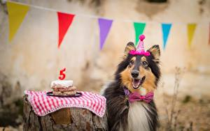 Papéis de parede Cão Aniversário Collie Gravata-borboleta Alegria Animalia
