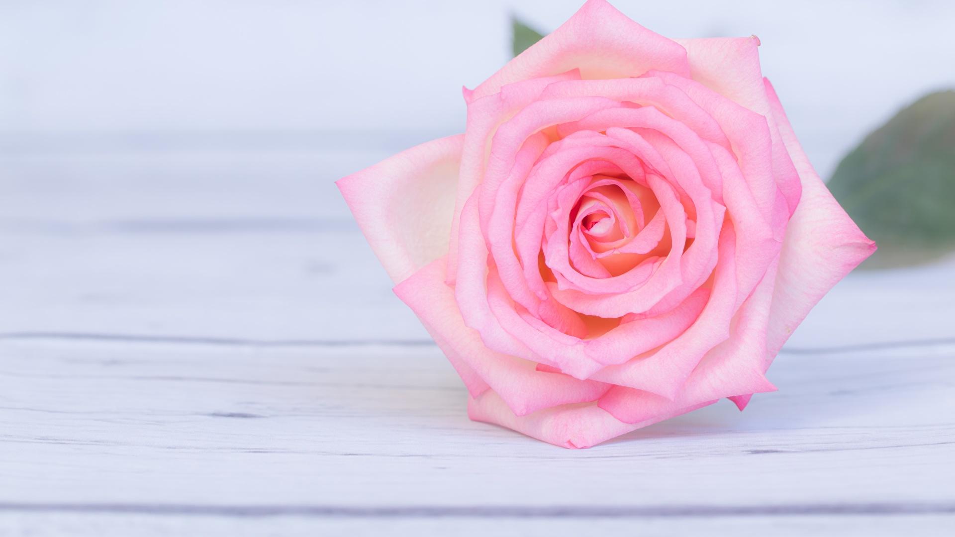 Fotos Von Rosen Rosa Farbe Blumen 1920x1080