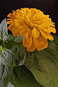Bilder Zinnien Hautnah Schwarzer Hintergrund Gelb Blattwerk Blumen