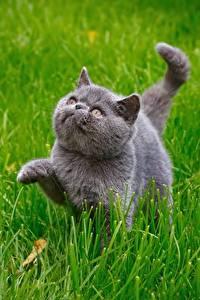 Bilder Katze Graue Gras Tiere