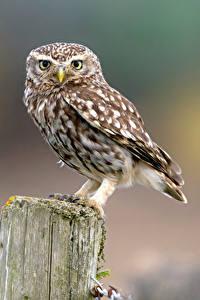 Hintergrundbilder Eule Vogel Blick Bokeh Little Owl