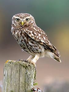 Hintergrundbilder Eule Vogel Blick Bokeh Little Owl ein Tier