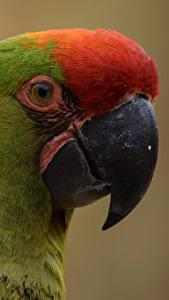 Hintergrundbilder Vögel Papageien Nahaufnahme Schnabel Kopf Tiere