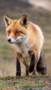 Picture Foxes Animals