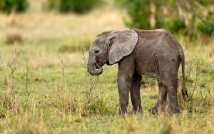 Fotos Elefanten Jungtiere Seitlich Gras
