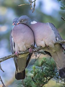 Hintergrundbilder Feldtauben Liebe Ast 2 Tiere