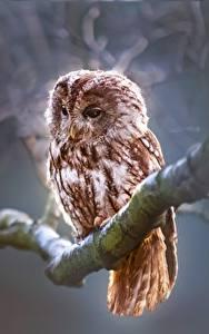 Image Owls Birds Branches Animals