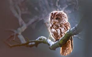 Fotos Eulen Vögel Ast Tiere