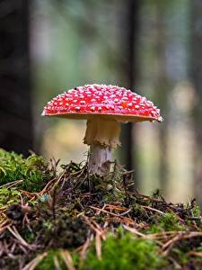 Fotos Wulstlinge Pilze Natur Großansicht Laubmoose