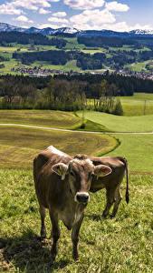 Hintergrundbilder Deutschland Landschaftsfotografie Grünland Kuh Gras Allgaeu Tiere