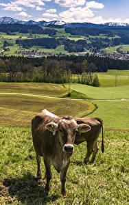 Hintergrundbilder Deutschland Landschaftsfotografie Grünland Kuh Gras Allgaeu Natur Tiere