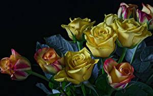Fotos Rosen Schwarzer Hintergrund Gelb