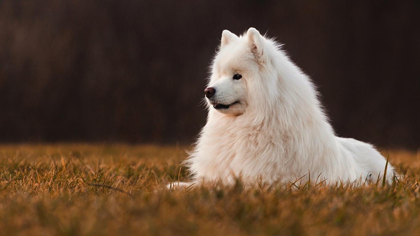 Фото Самоедская собака Собаки белых Животные 1366x768 собака белая белые Белый животное