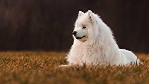 Bilder Hunde Weiß Samojede Tiere