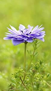 Hintergrundbilder Anemone Violett Bokeh Blüte