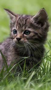 Bilder Katzen Katzenjunges Gras Starren Tiere
