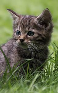 Bilder Katzen Katzenjunges Gras Starren