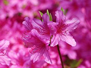 Fotos Großansicht Rosa Farbe Rhododendron (Azalea) Blüte