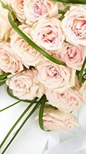 Bilder Rose Blumensträuße Rosa Farbe Blüte