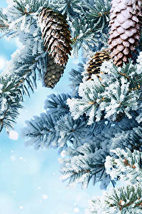 Bilder Winter Ast Zapfen Schnee Natur