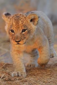 Fotos Löwe Jungtiere Starren