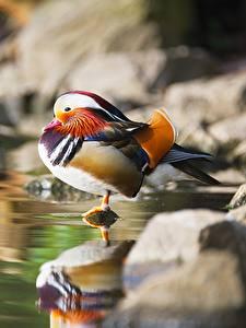 Fotos Vogel Entenvögel Stein Unscharfer Hintergrund Mandarin duck