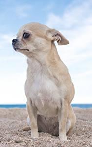 Fotos Hunde Chihuahua Sitzend Sand Starren Tiere