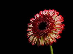 Pictures Gerberas Closeup Black background Flowers