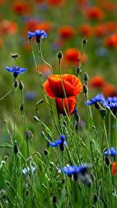Bilder Mohn Flockenblumen Grünland Blüte