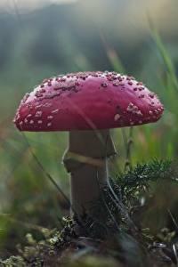 Bilder Pilze Natur Hautnah Wulstlinge