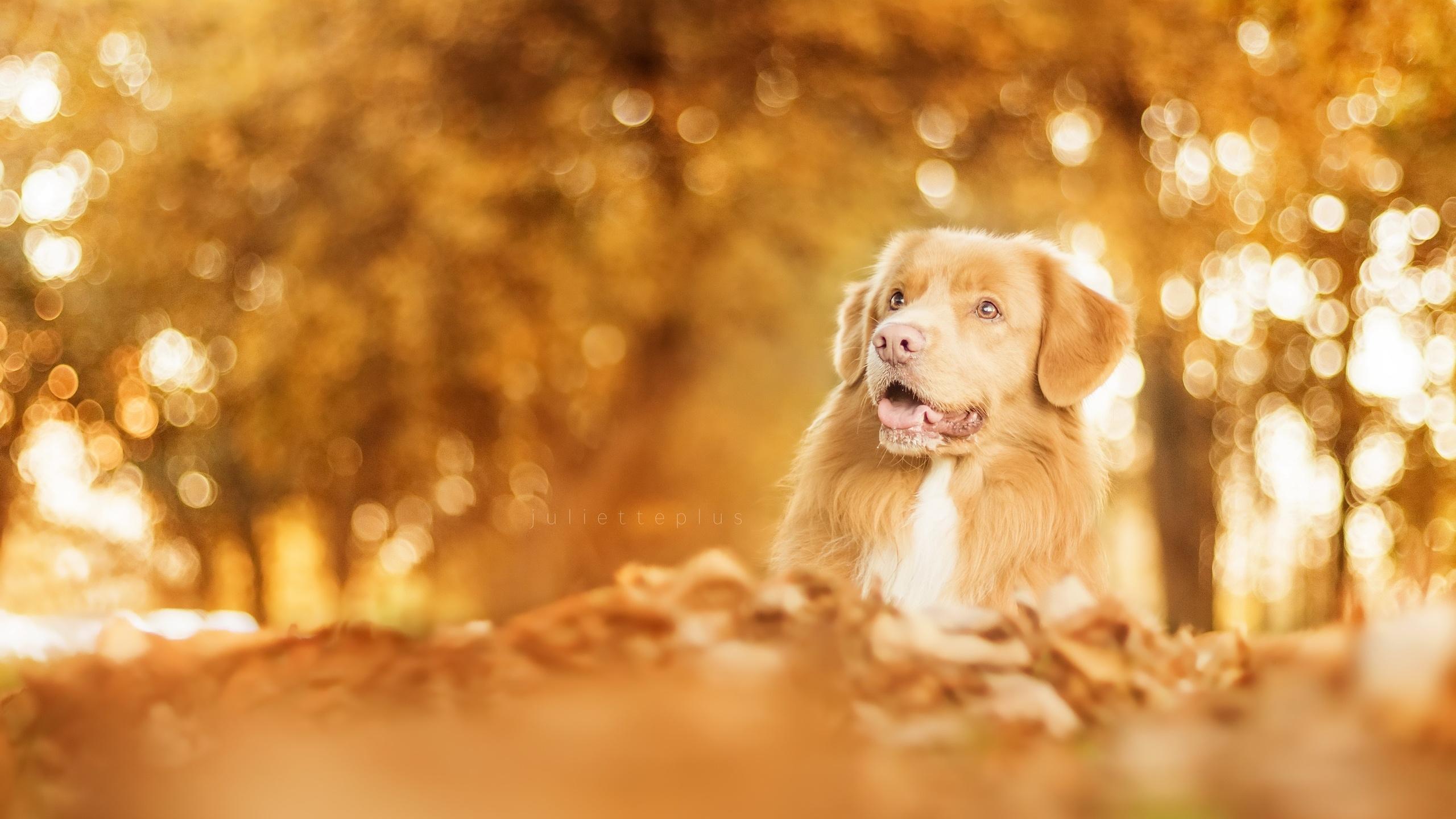 Foto Retriever Hunde Herbst Ein Tier 2560x1440