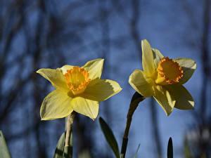 Bilder Großansicht Narzissen 2 Gelb Blüte